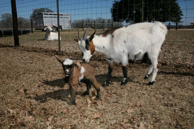newborn miniature goat